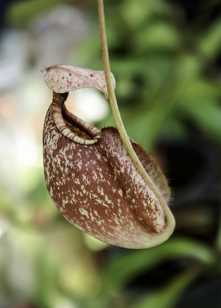 nepenthes: closeup of nepenthes with blurred background Stock Photo