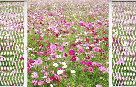 land slide: cosmos flowers fields