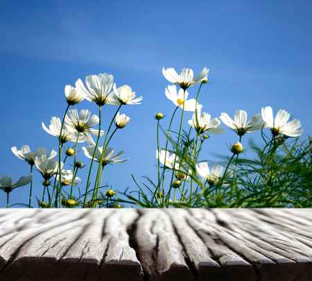 white wood floor: white daisies on blue sky background and wood floor