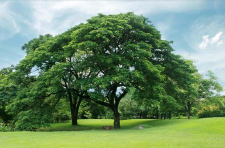 tree  oak: Grandes �rboles en el jard�n