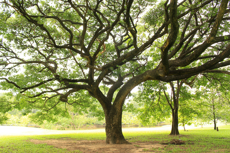 big tree with branches Stock Photo