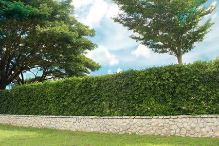 ornamental shrub: Grown tree with brick wall and ornamental shrub
