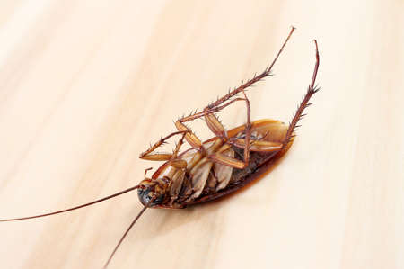 revolting: Dead cockroaches on wooden table Stock Photo