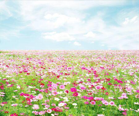 fields of flowers: cosmos flowers fields with sky Stock Photo
