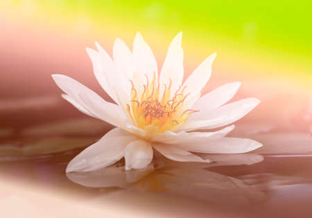 lilia: Beautiful white lotus in the pond