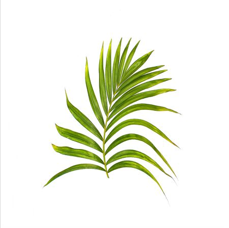 cycas: Green leaf of palm tree on white background Stock Photo