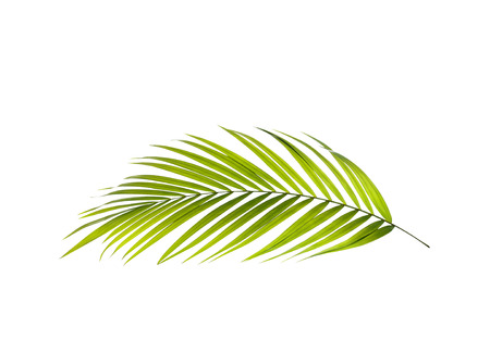 Green leaf of palm tree background Standard-Bild