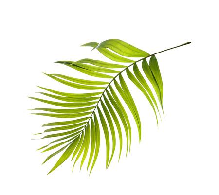 白い背景の上のヤシの木の緑を葉します。