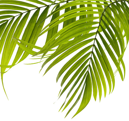coco: Las hojas verdes de palmera en el fondo blanco