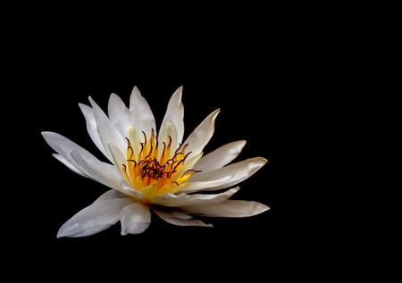 lilia: Beautiful white lotus on black background