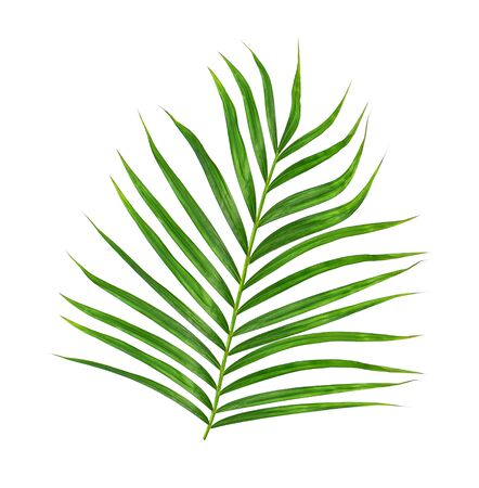 betel leaf: Green leaves of palm tree isolated on white background Stock Photo