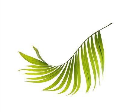 白い背景の上のヤシの木の緑の葉 写真素材
