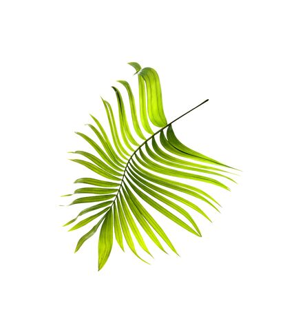 betel leaf: Green leaf of palm tree on white background Stock Photo