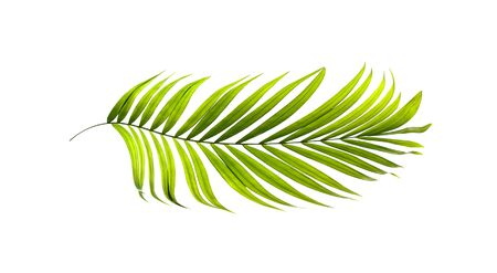betel leaf: Green leaves of palm tree on white background