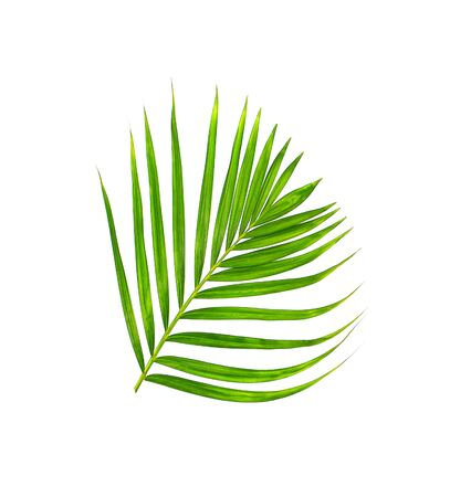 betel leaf: Green leaf of palm tree isolated on white background