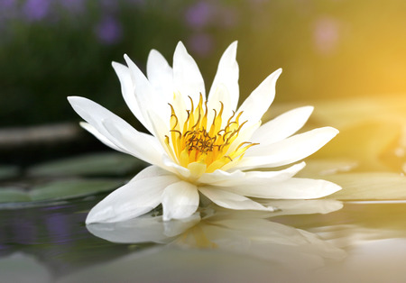 Beautiful white lotus in the pond with burst light