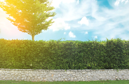 ornamental shrub: Grown tree with brick wall and ornamental shrub with burst light