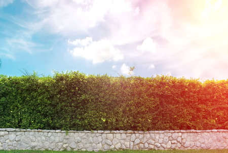 ornamental shrub: brick wall and ornamental shrub with burst light