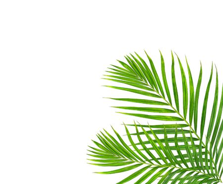 Green leaf of palm tree on white background Stock Photo