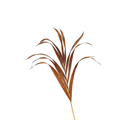 dry leaves of palm tree isolated on white background