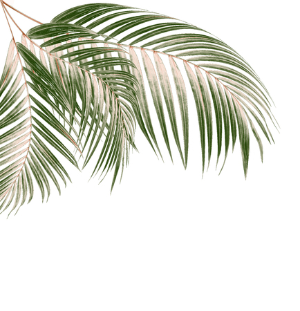 leaves of palm tree on white background Stock Photo