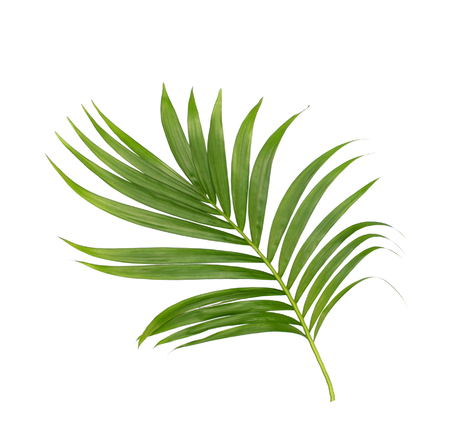 Green leaves of palm tree isolated on white background Standard-Bild