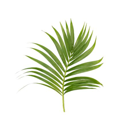 Green leaves of palm tree isolated on white background Stock Photo
