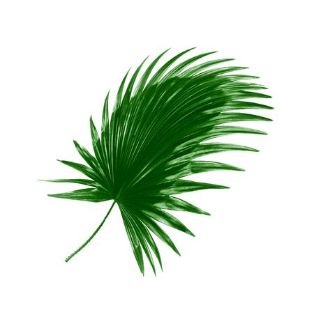 Grünes Blatt der Palme Hintergrund