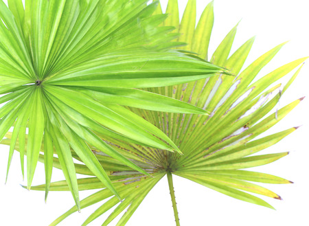 green leaves palm tree isolate on white background Stock Photo