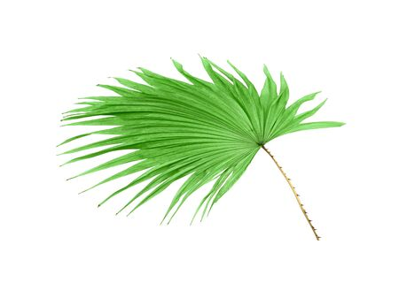 green leaf palm tree isolated on white background Stock Photo