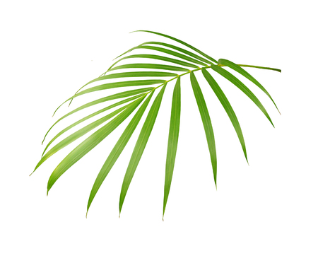 green leaf of palm tree isolated on white background 写真素材