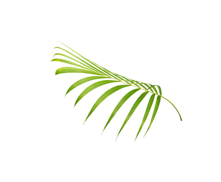 green leaf of palm tree isolated on white background Stock fotó