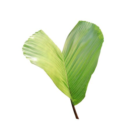 green leaf of palm tree isolated on white background Archivio Fotografico