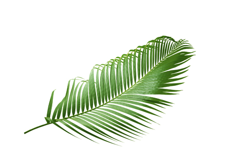 green leaf of palm tree isolated on white background Banco de Imagens