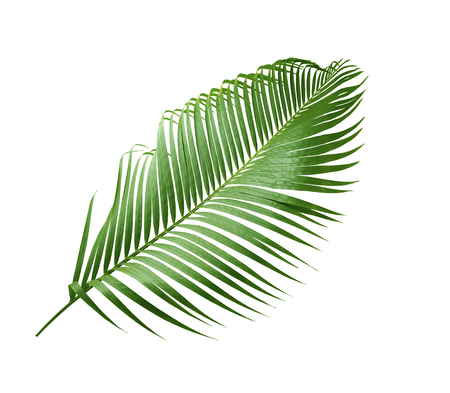 green leaf of palm tree isolated on white background Standard-Bild
