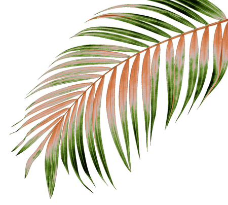 green leaf of palm tree on white background 版權商用圖片