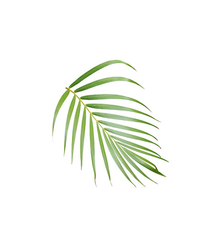 tropical green palm leaf isolated on white for summer background