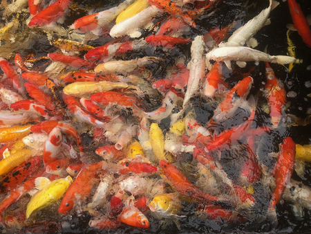 Japanese Koi Carps Fish (cyprinus Carpio) swimming in a pond