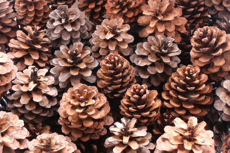 Fir coniferous and pine cones tree fruit background