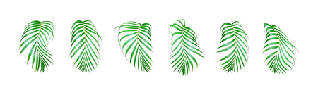 collection coconut palm leaf tree on white background