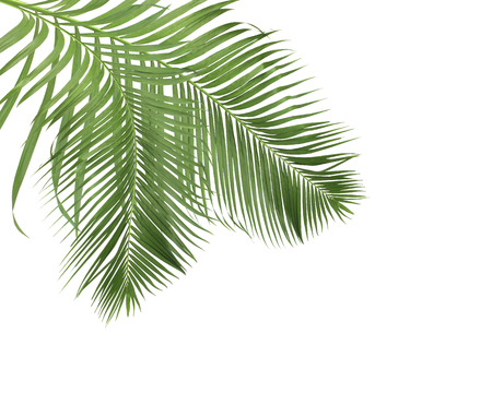 foglie di palma verde su sfondo bianco
