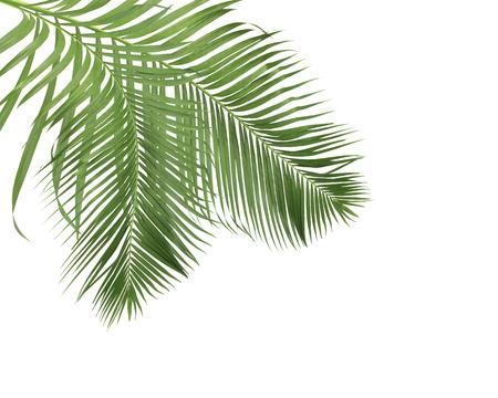 zielone liście palmowe na białym tle
