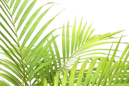 tropical green palm leaf on white wall background