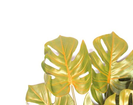 tropical monstera palm leaves tree background Stock fotó