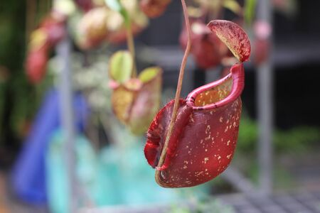 Nepenthes tree, Tropical pitcher plants growth in nature