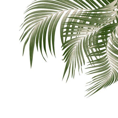 Hojas verdes de palmera sobre fondo blanco. Foto de archivo
