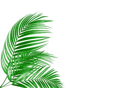 leaves of palm tree on white background 写真素材