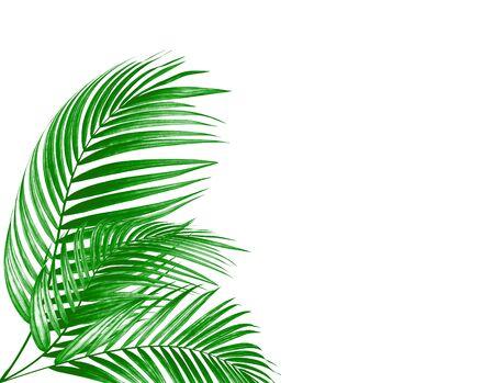 leaves of palm tree on white background Фото со стока