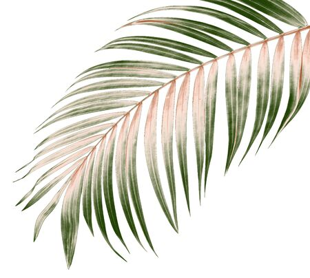 green leaf of palm tree on white background 写真素材