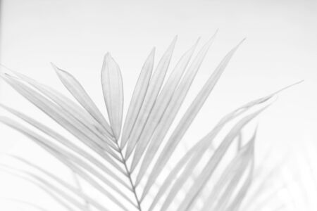 Abstract gray shadow background of palm leaves, black and white monochrome tone